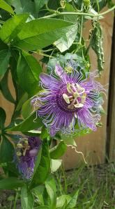 passion flowerf
